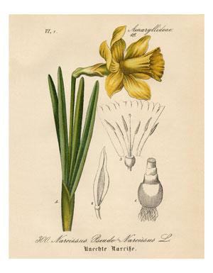05_daffodil_8x10_graphicsfairy