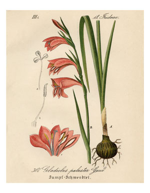 15_pink_gladiolus_8x10_graphicsfairy