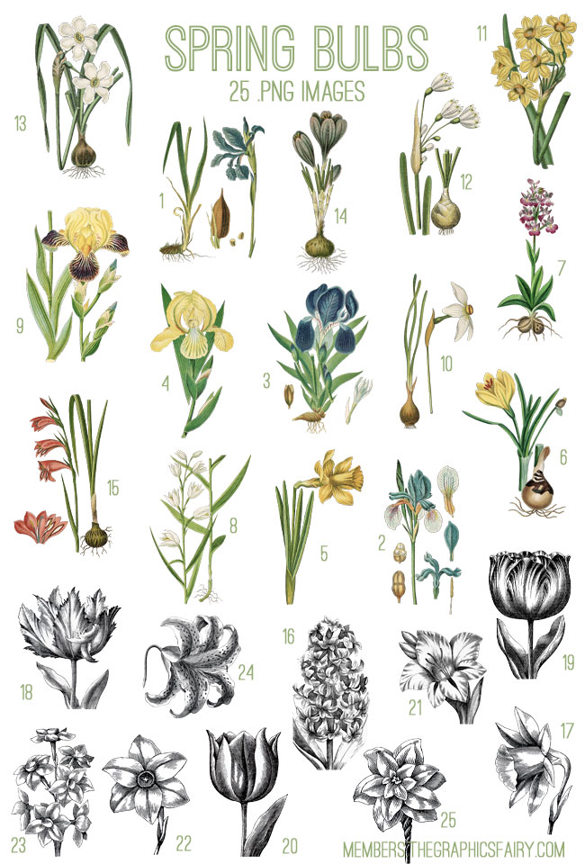Beautiful spring bulbs image kit tgf premium the graphics fairy springbulbsimagelistgraphicsfairy mightylinksfo
