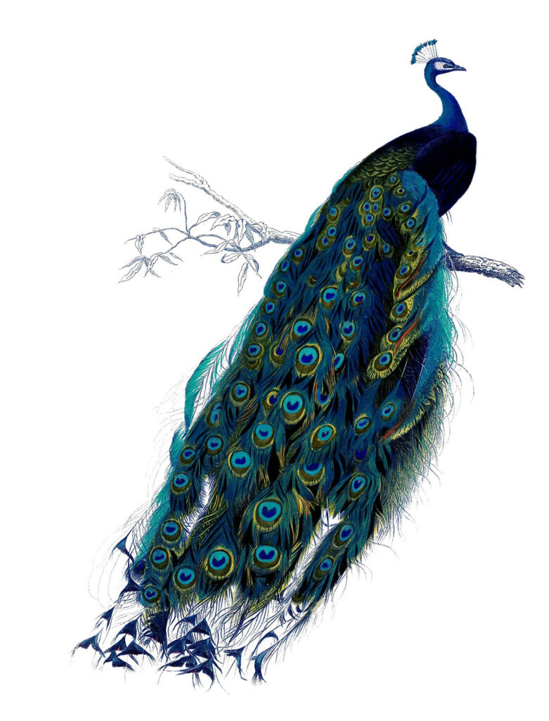 Full color Peacock Image with Tail Down