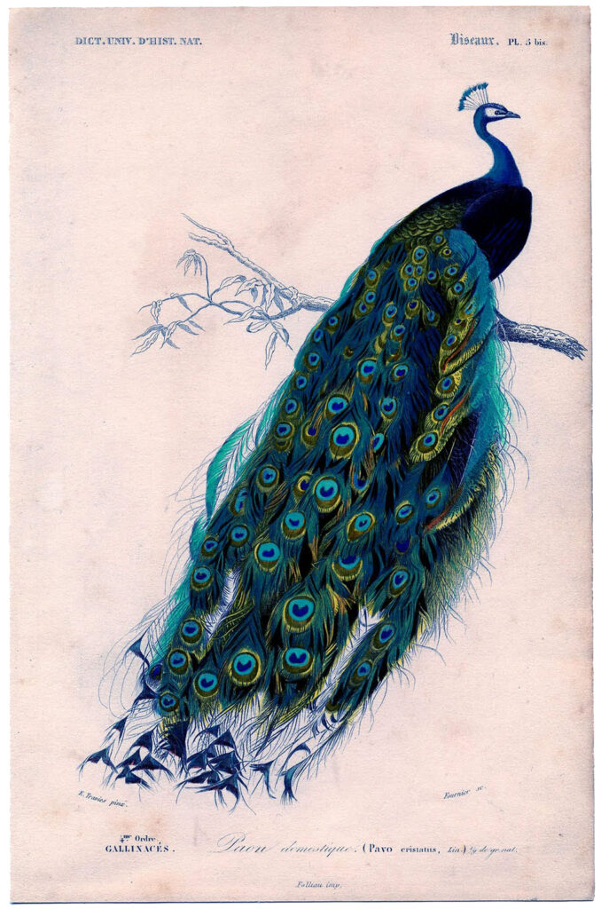 Peacock Natural History Print with Tail Down