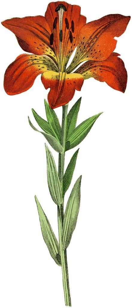Lily Botanical Image