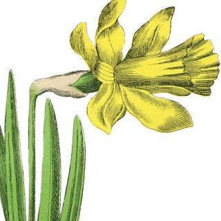 Single Yellow Daffodil Image!