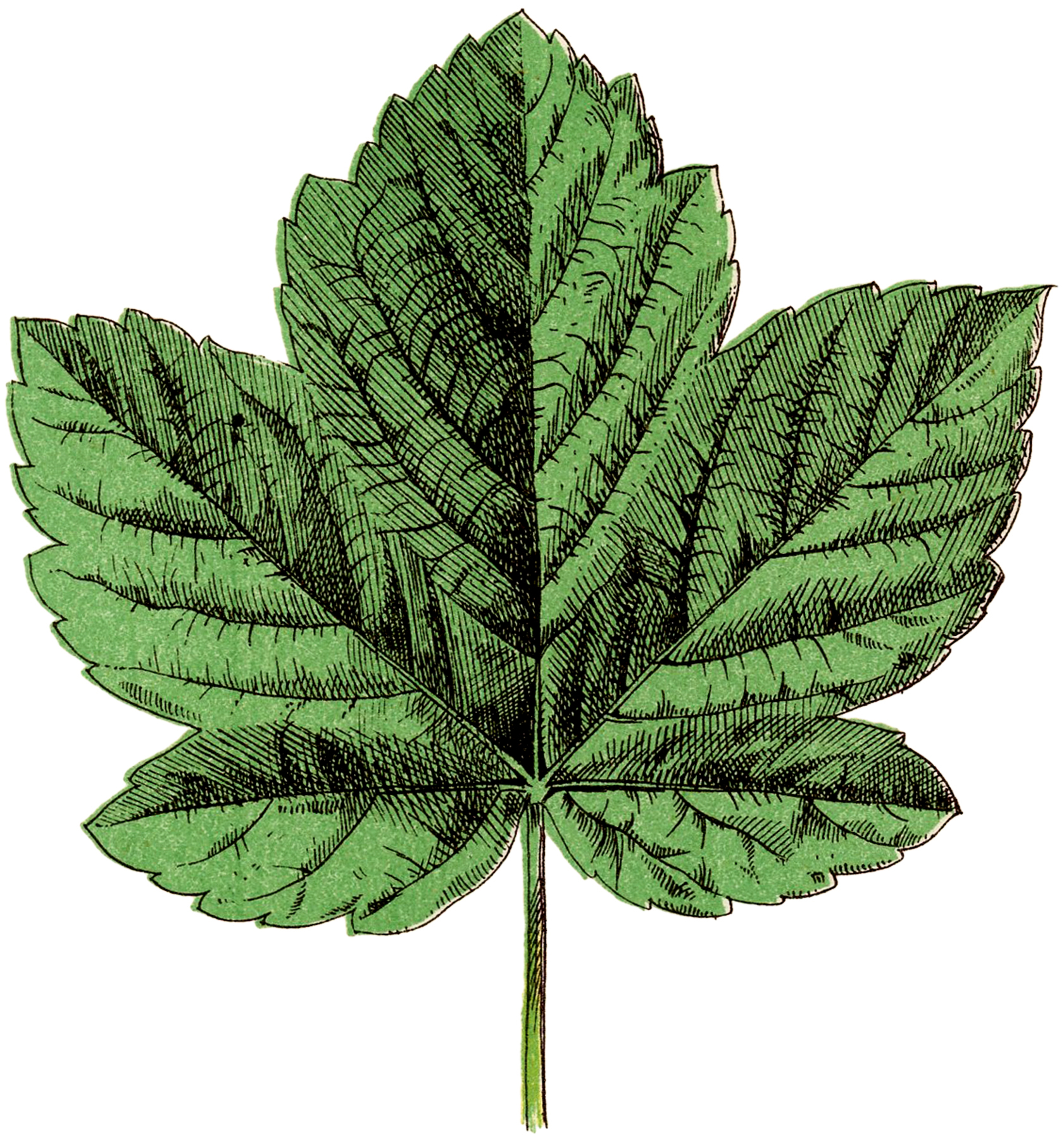 Sycamore Green Leaf Image