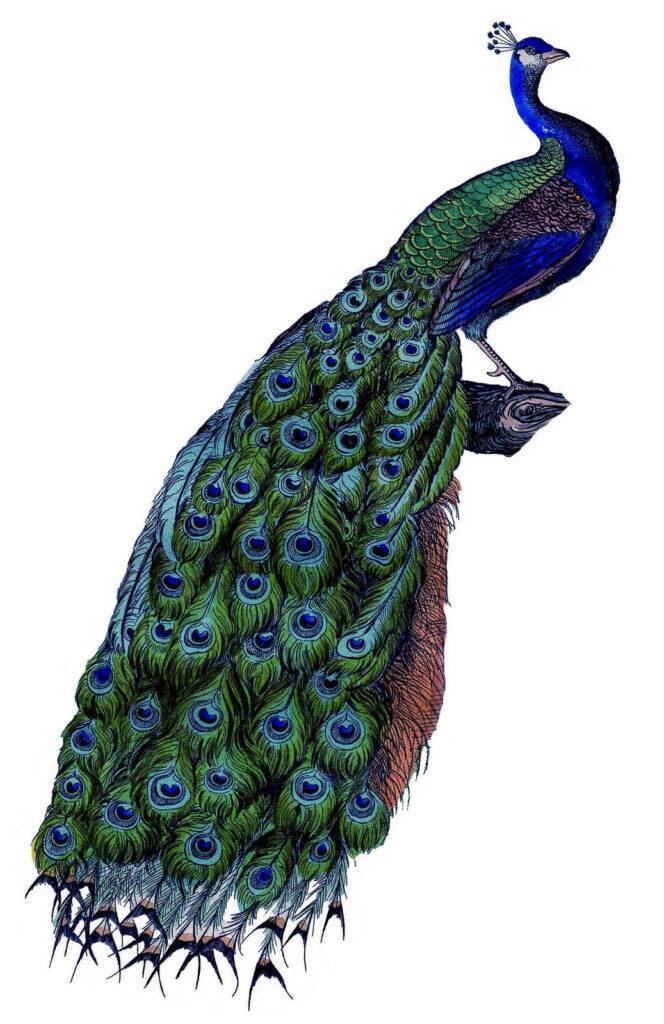 Vintage Peacock Image