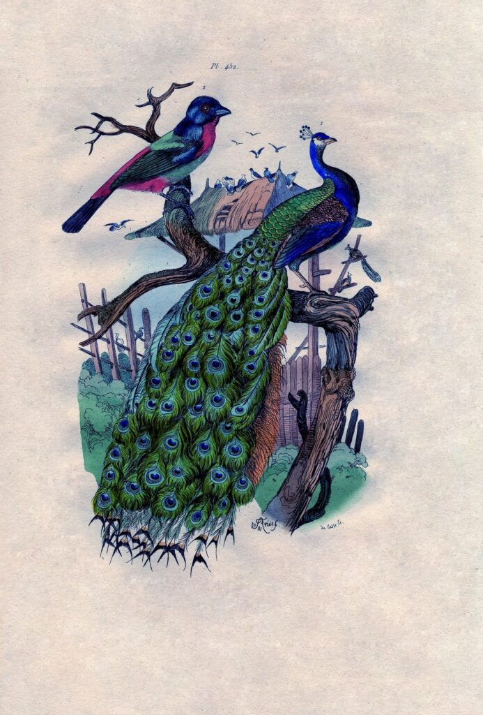 Peacock on Branch with Bird Print
