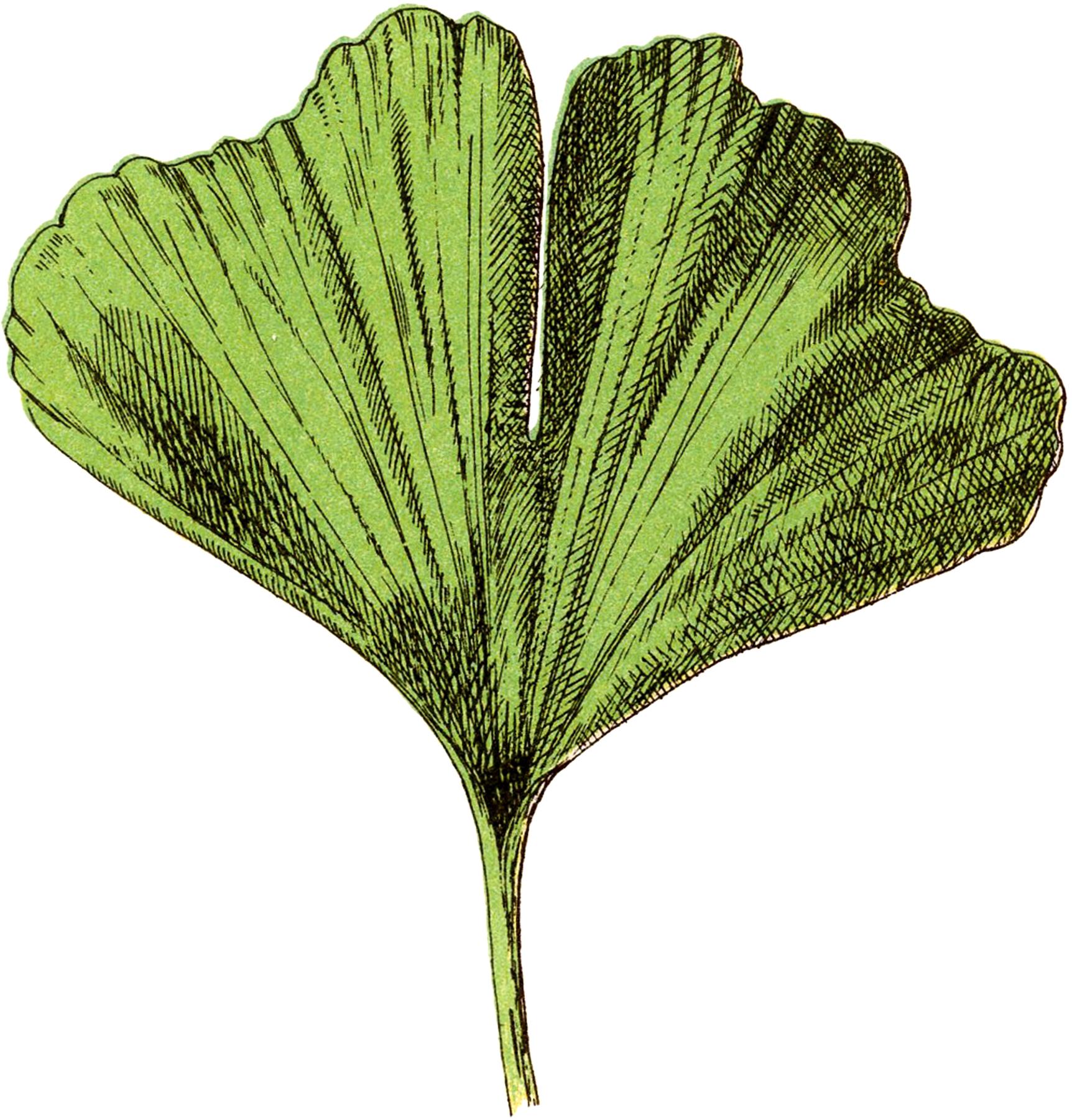 Free Ginkgo Leaf Image