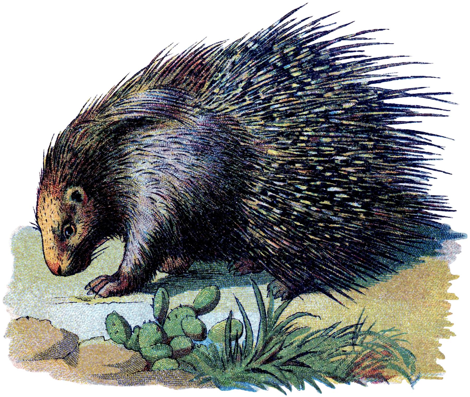 Vintage Porcupine Image