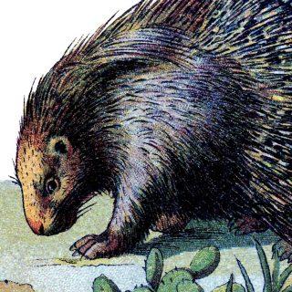 Vintage Porcupine Image!