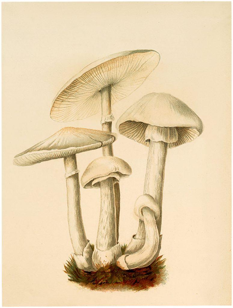 Vintage White Mushrooms Image