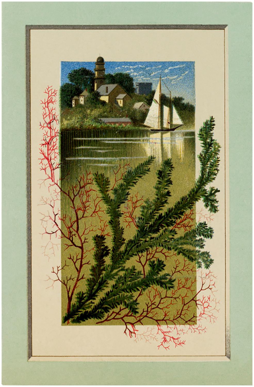Vintage Sailboat Kelp Image