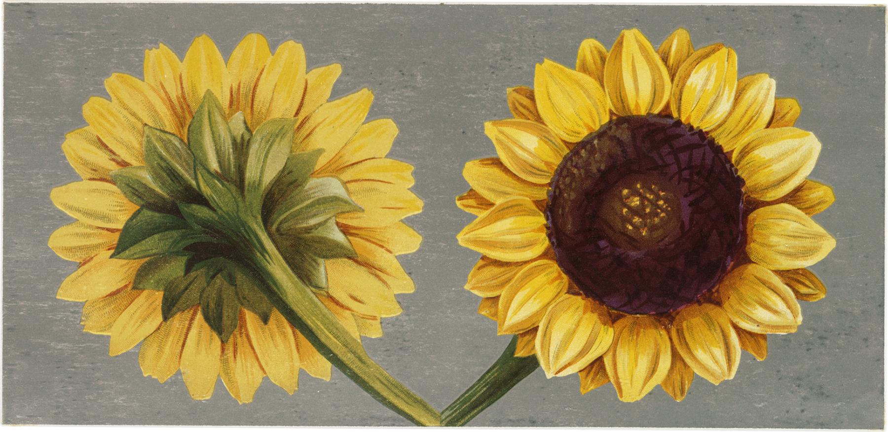 Vintage Sunflower 53