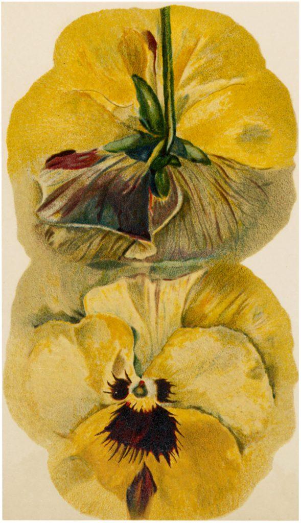 Vintage Yellow Pansy Image