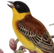 Beautiful Yellow Bird Image