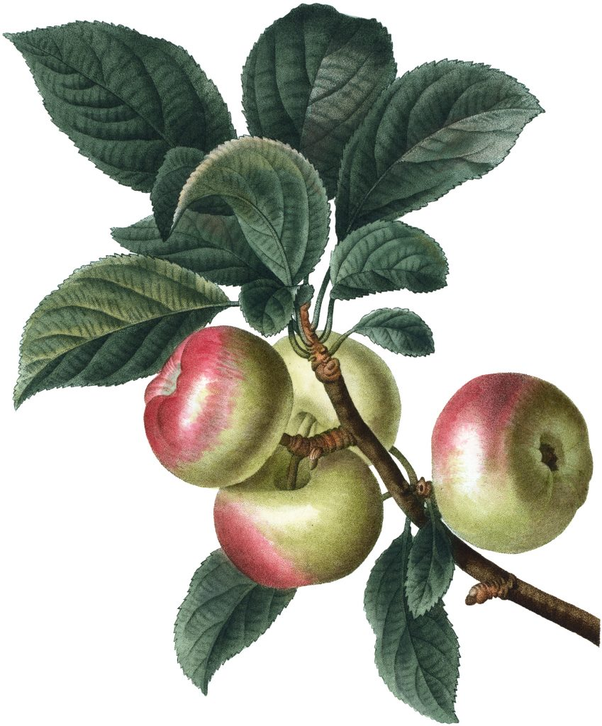 Botanical Apples Image