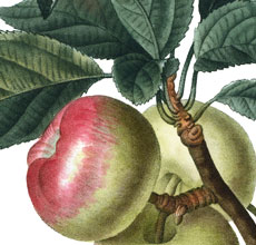 Beautiful Botanical Apples Image!