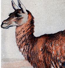 Guanaco Camel Image!