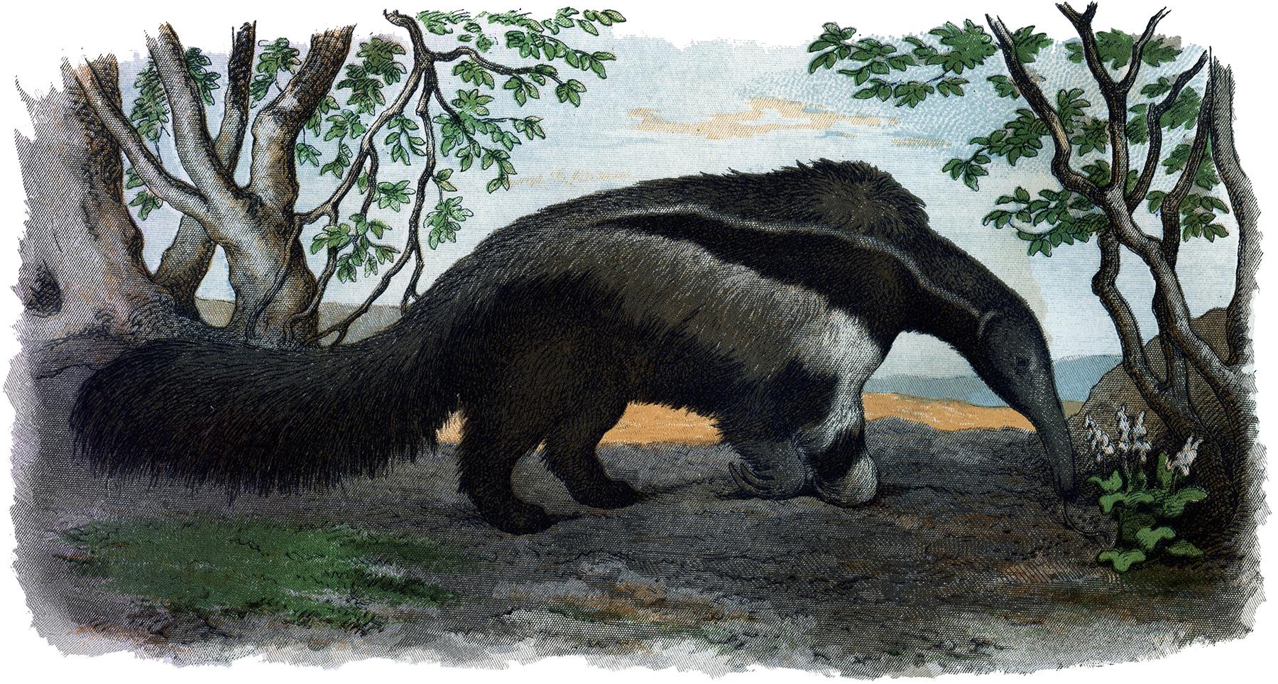Vintage Anteater Image