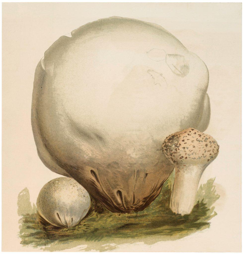 Vintage Puffball Mushrooms Image
