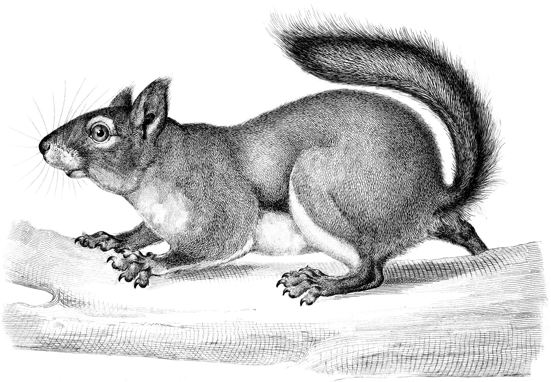 Antique Squirrel Engraving