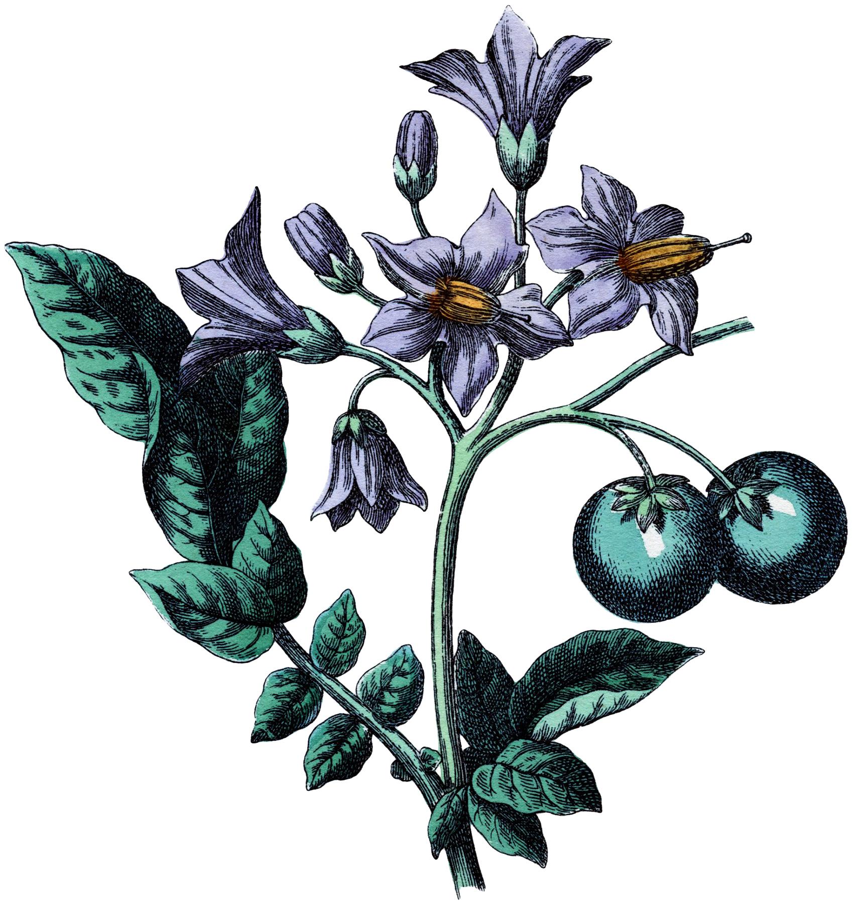 Botanical Potato Flower Image