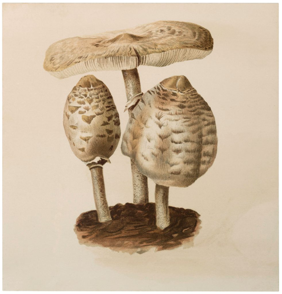 Vintage White Mushrooms Image