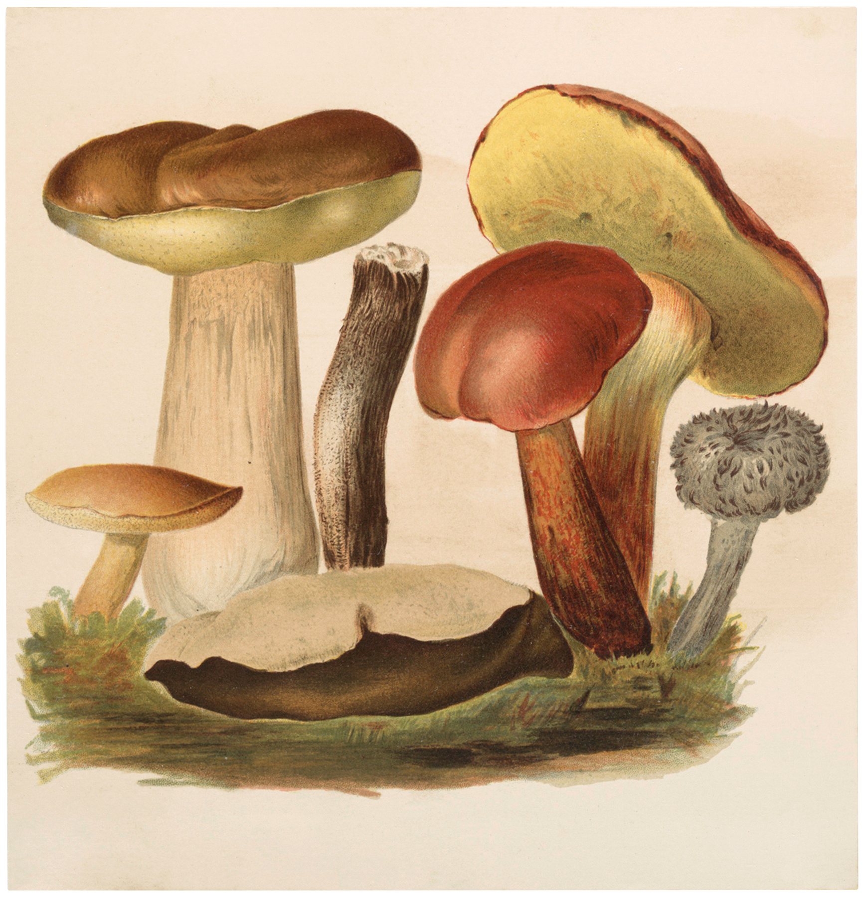 Vintage Wild Mushrooms Image