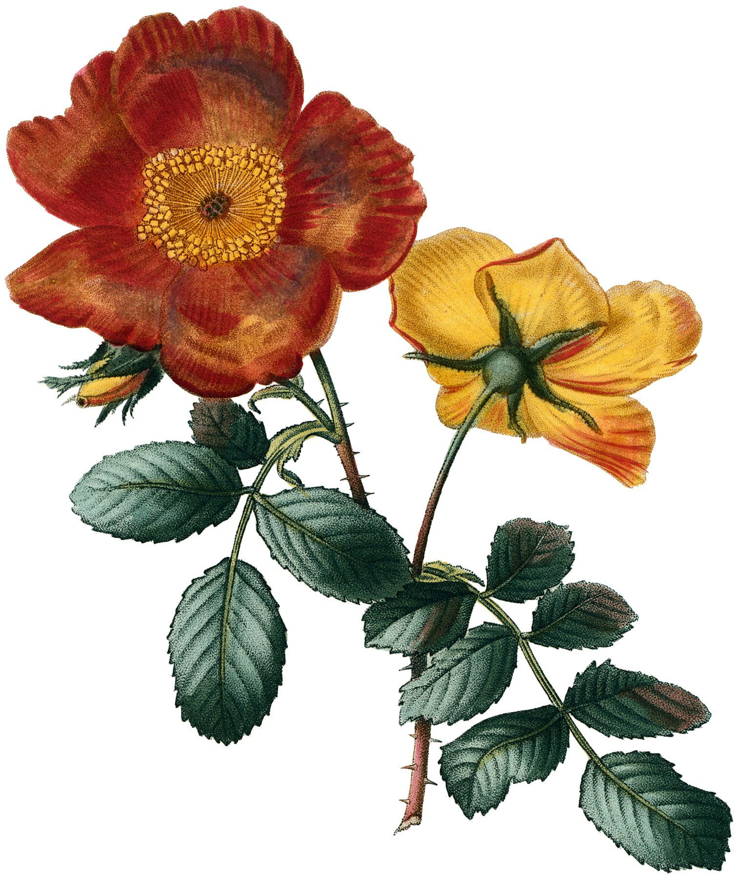 Vintage Orange Roses Image