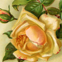 Yellow Rose Dove Picture