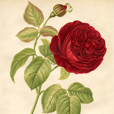 10 Free Vintage Roses Images – Gorgeous!