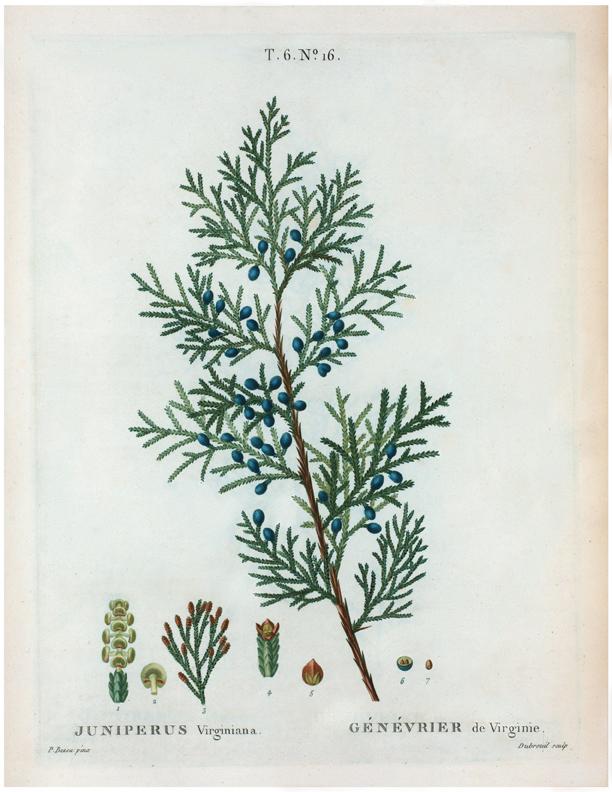 Antique Botanical Juniper Branch Printable! - The Graphics ...