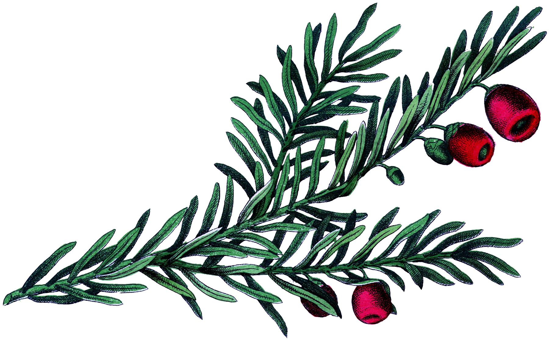 Botanical Yew Branch Image