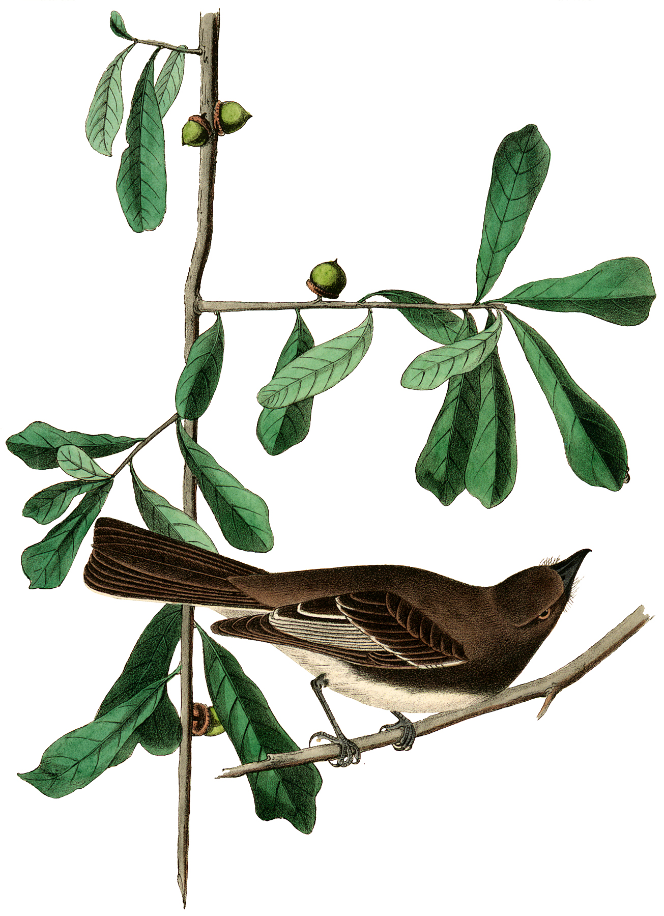 Vintage Bird with Green Acorns Image