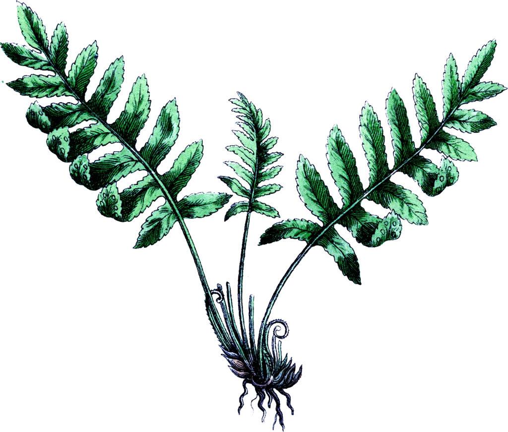 Vintage Botanical Fern Image