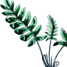 Vintage Botanical Fern Image!