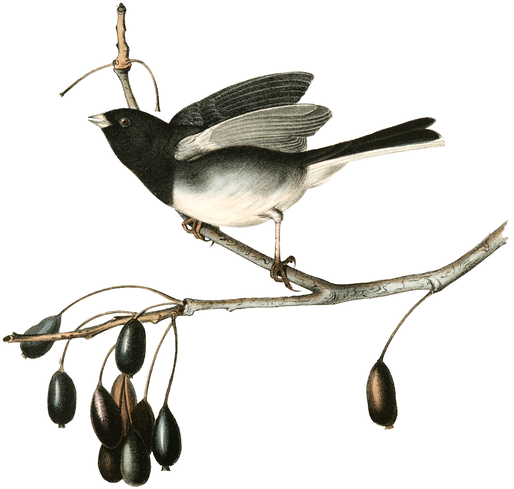 Vintage Bird with Berries Image