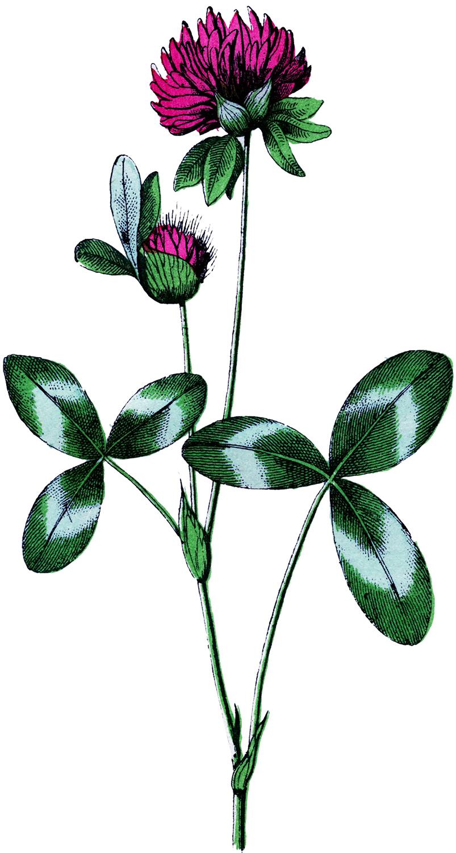 Vintage Clover Flower Image