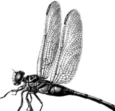 Vintage Dragonfly Image – Black and White!