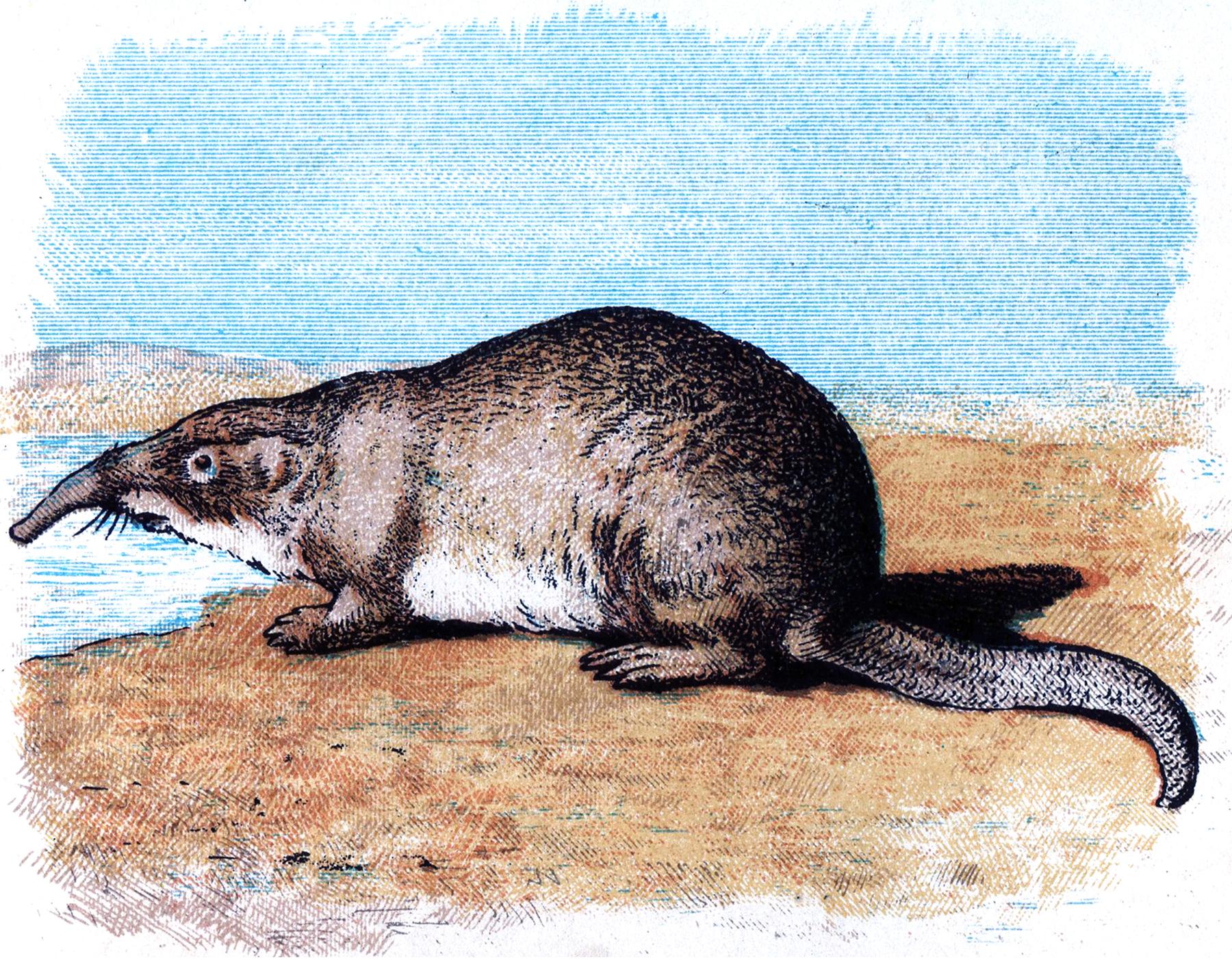 Vintage Mole Image