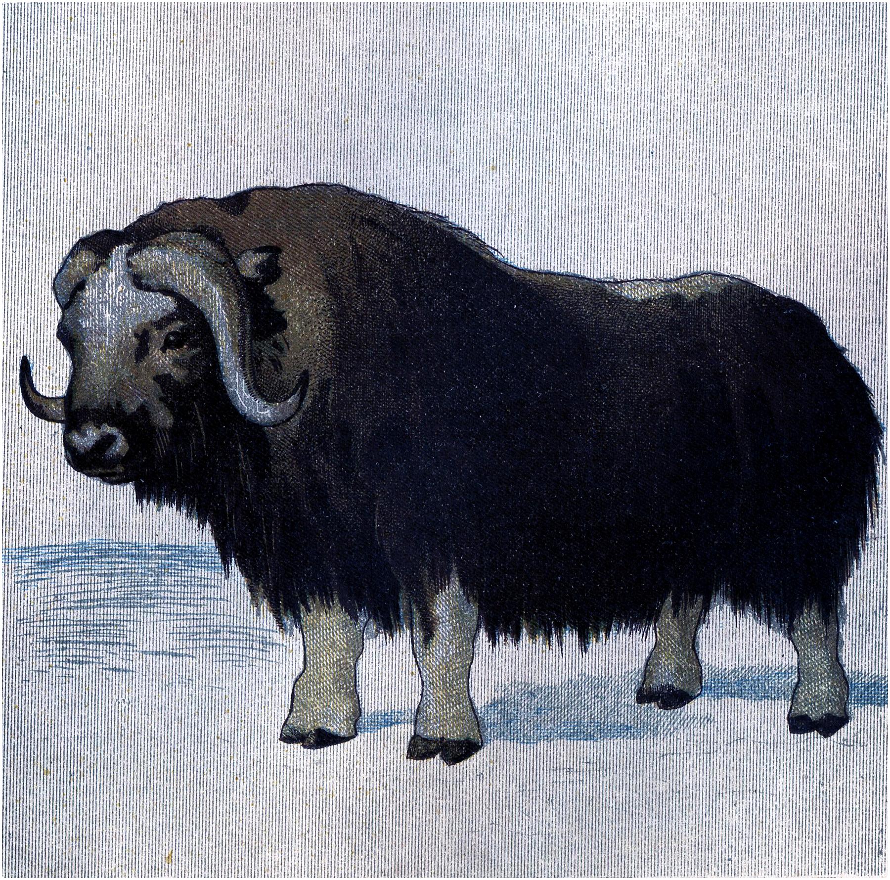 Vintage Musk Ox Image