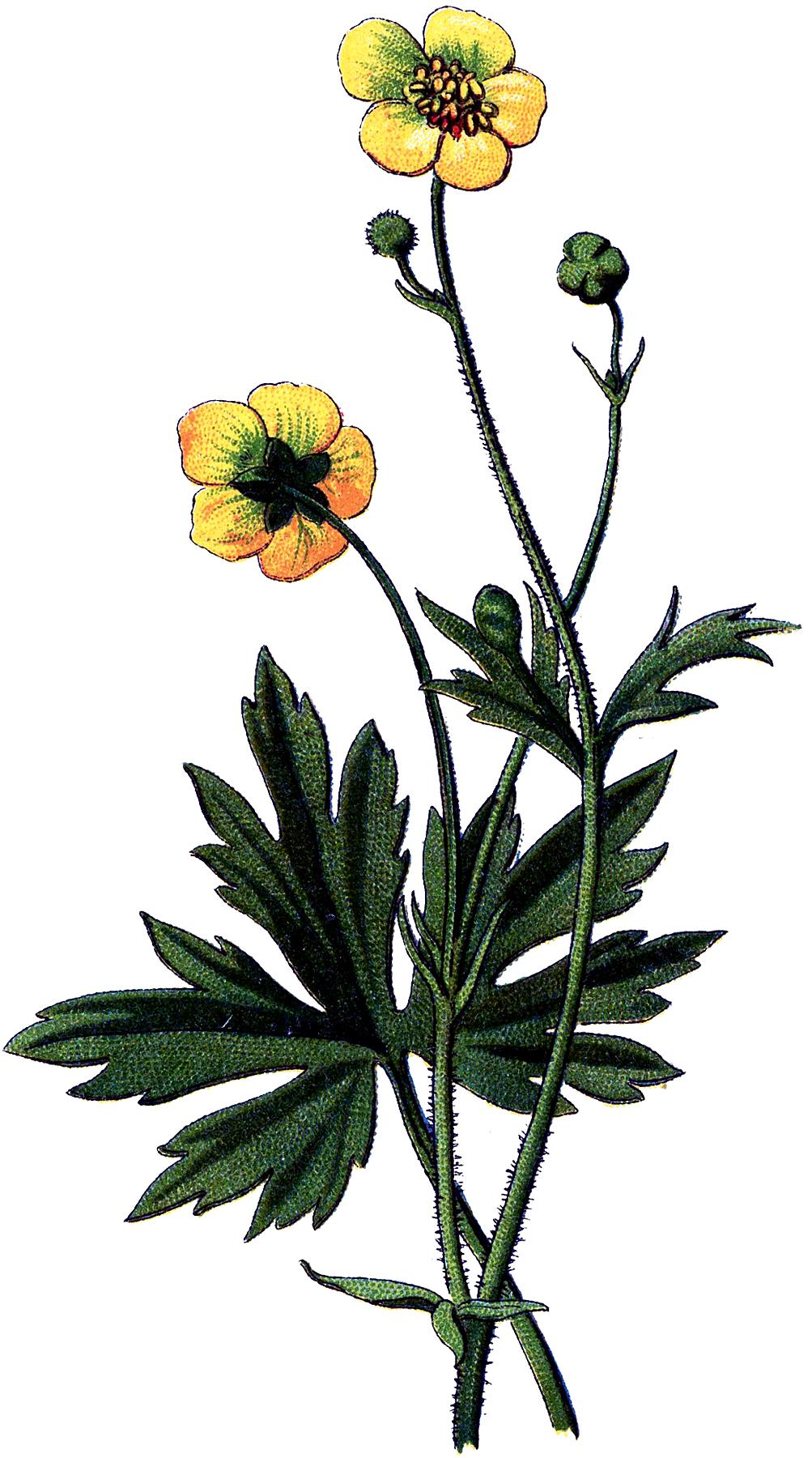 Vintage Botanical Buttercups Image