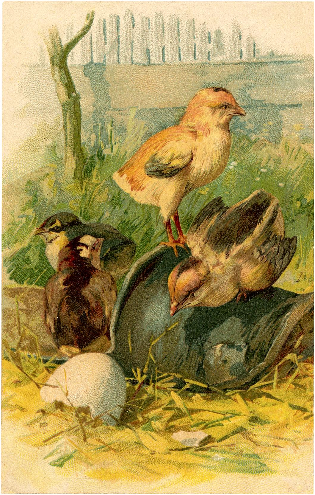 Vintage Hatching Chicks Image
