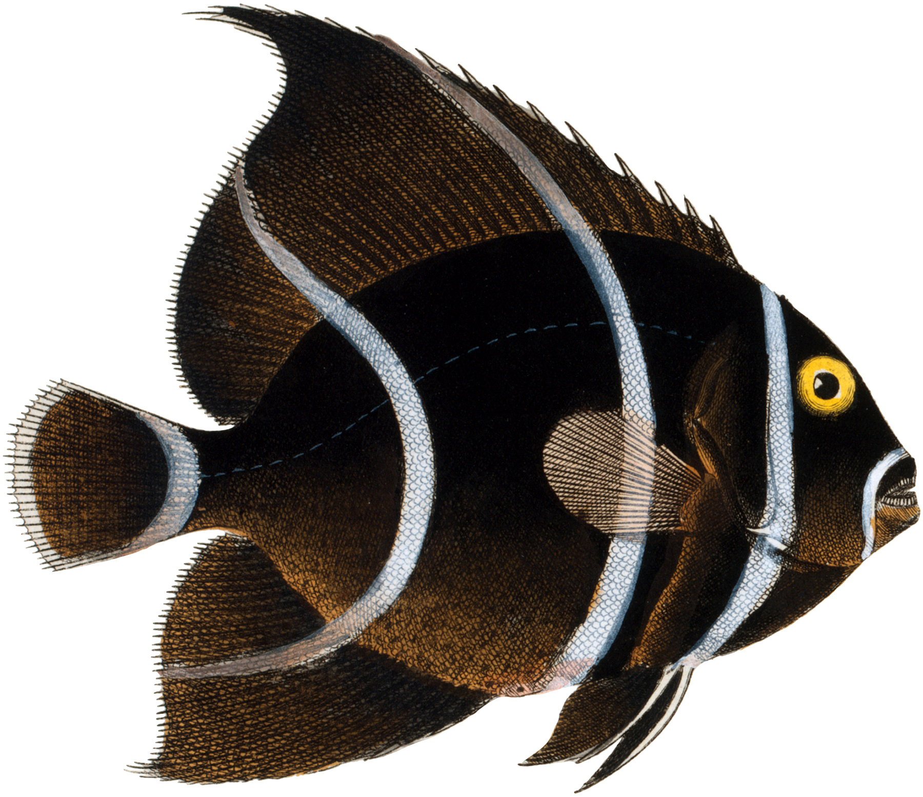 Public Domain Fish Image