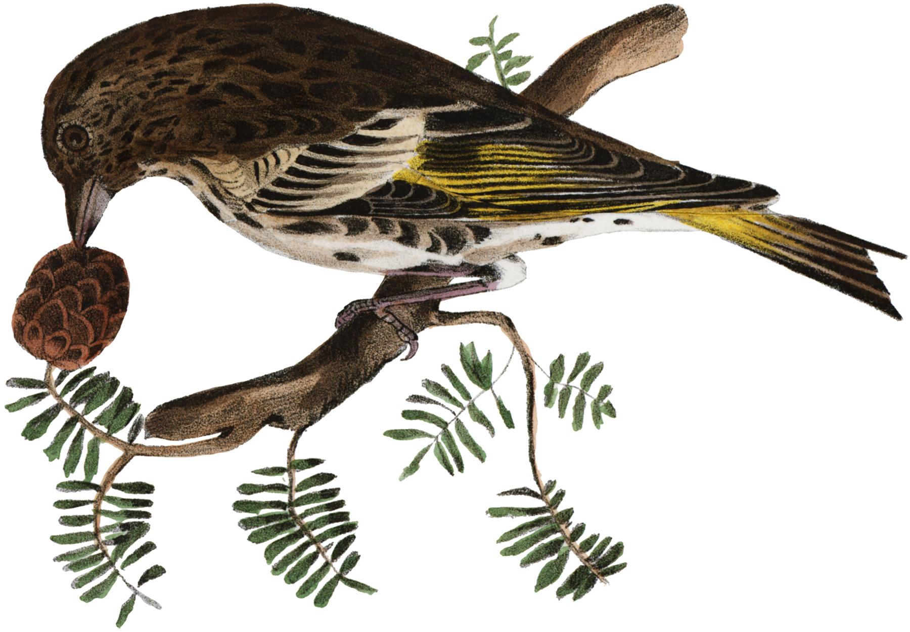 Vintage Bird with Pinecone Image