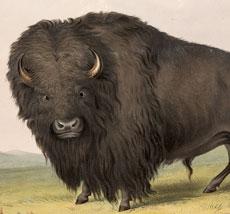 Marvelous Vintage Buffalo Image!