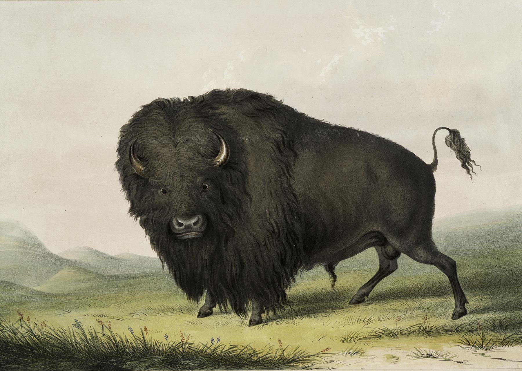 Vintage Buffalo Image