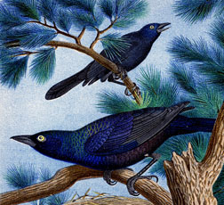 Wonderful Vintage Grackle Birds Printable!