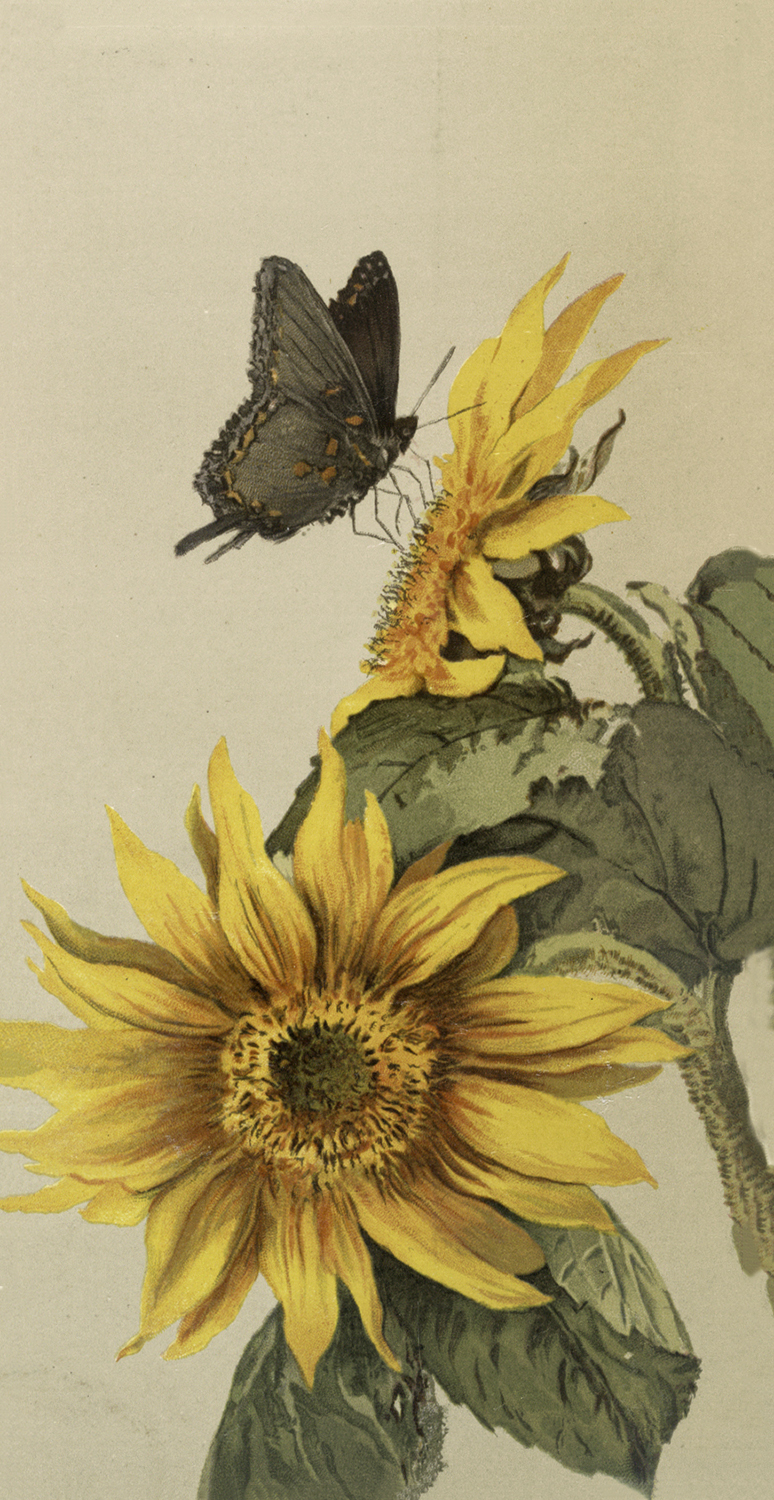 Vintage Moth And Sunflower Image