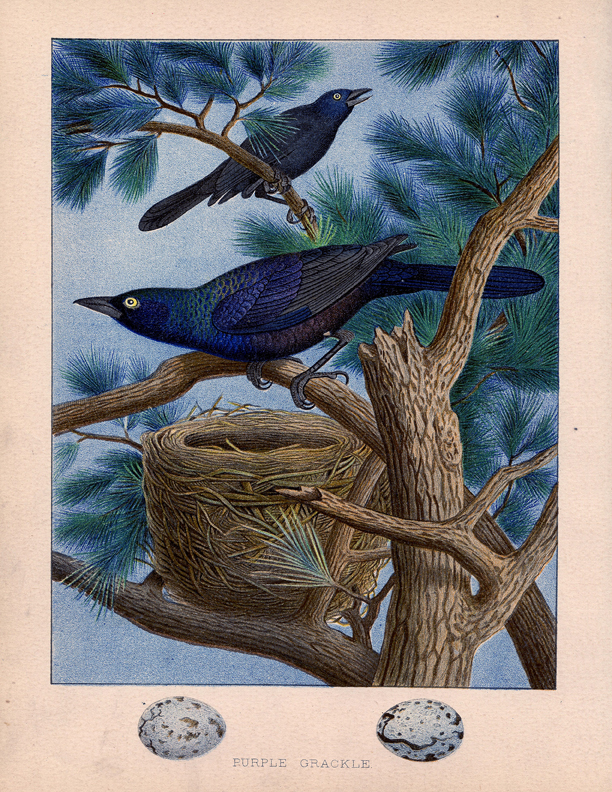 Vintage Grackle Birds Image