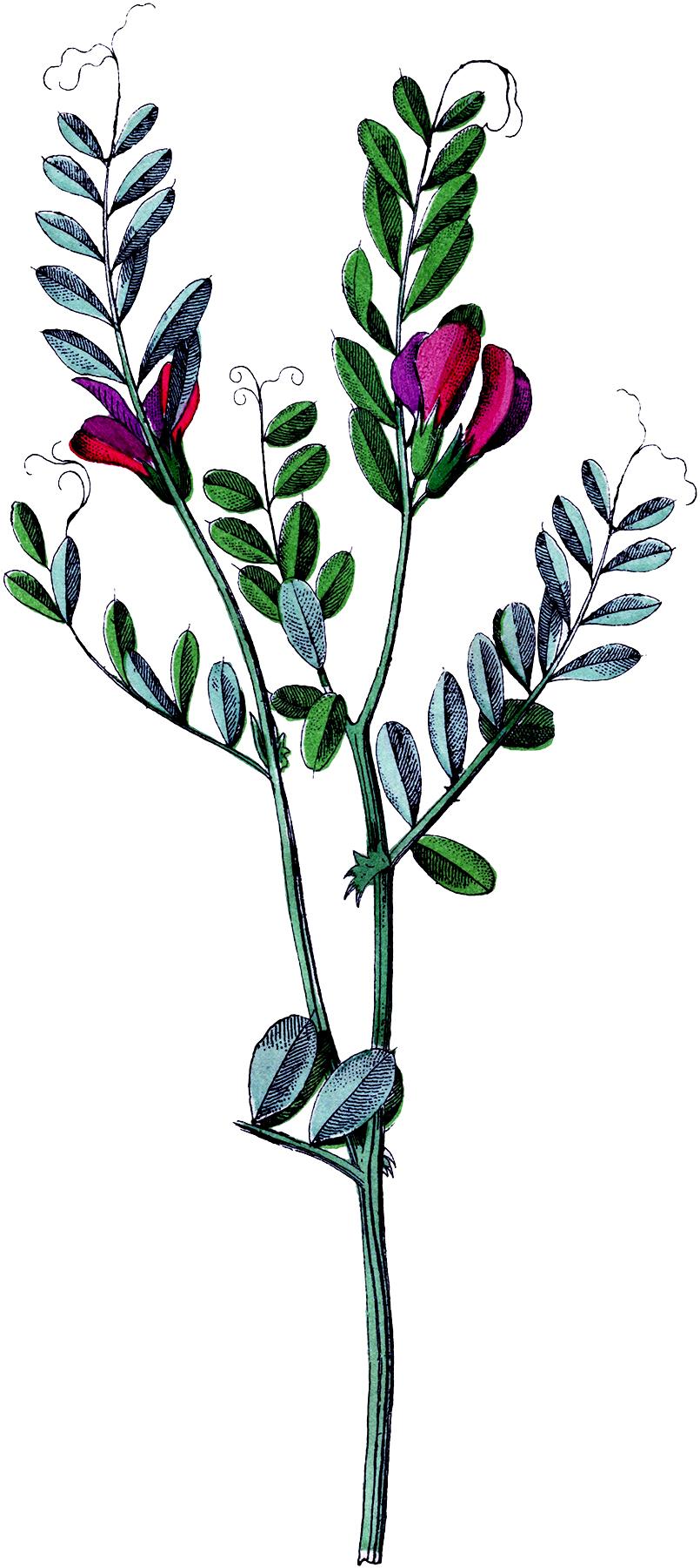 Vintage Lungwort Flower Image